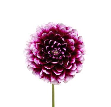 purple flower on white