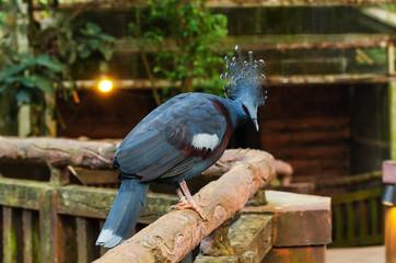 Victoria crowned pigeon (Goura victoria) on sandy floor