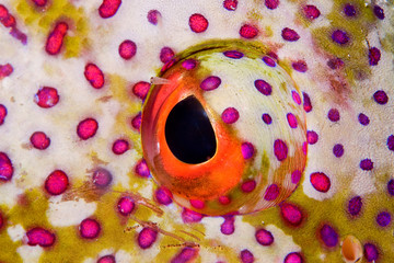 Colorful eye of a coral grouper