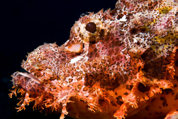 Close-up from the head of a Scorpionfish