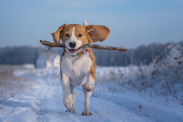 Beagle dog playing with a stick on a walk in winter