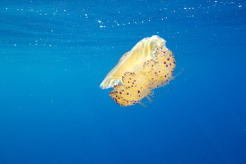 This jellyfish nearly looks like a flying saucer. Its colors are bright in the clear waters