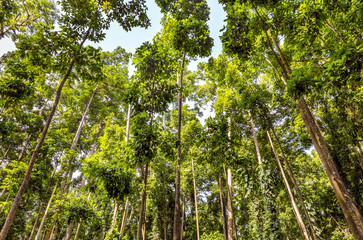 High trees of Monky Forest, Bali