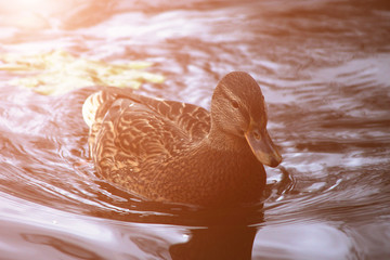 Duck  ( mallard duck, anas platyrhynchos ) swimming on lake surface. Toned