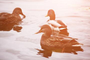 Duck  ( mallard duck, anas platyrhynchos ) swimming on lake surface. Toned