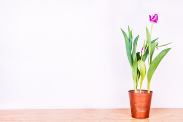Pink tulip in a copper metal pot on white wall background. Spring, holidays, mothers day, woman business concept