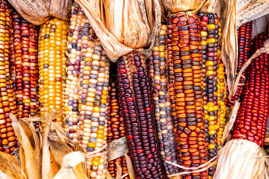 Indian Corn, New England Farm
