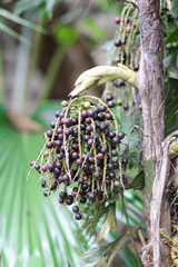 Clusters of black round fruits on an old palm tree trunk