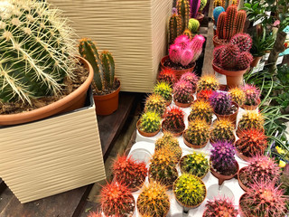 many different small multicolored cacti in flower pots as indoor plants