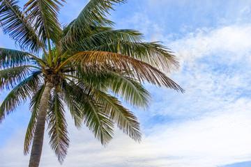 Coconut tree at windy beach.