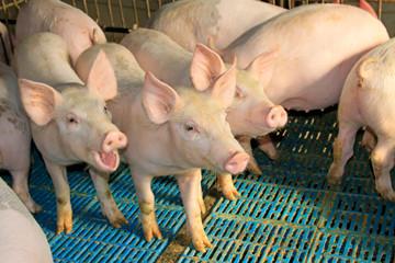 Lean hogs in a farm