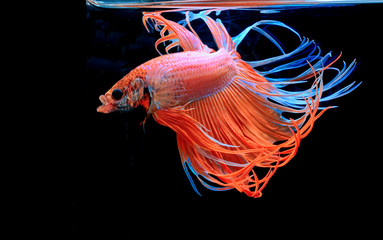 Fighting fish, red fish on a black background, color Siamese fighting fish Halfmoon Betta. .
