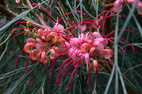 Sydney Australia, pink flowers of a grevillea tree an Australian native