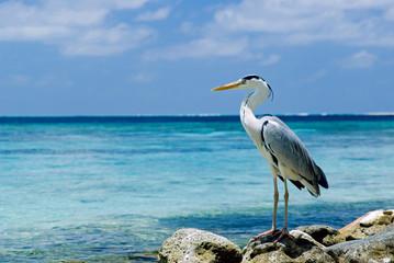 Gray Heron fishing on rocky beach at the sea