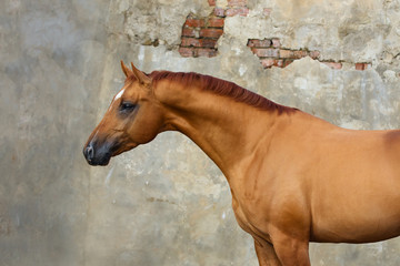 Portrait of a chestnut horse on light background isolated