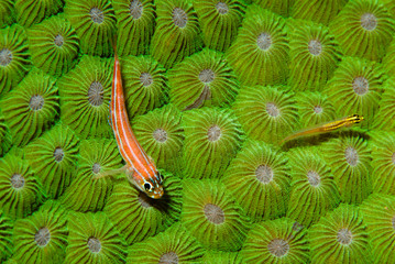 Striped Triplefin sitting on a green hard coral