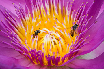 Bee swarming on the lotus flower.