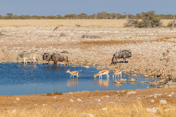 Zebra, wildebeests, guineafowl and springbok drinking at the water hole, Etosha National Park, Namibia.