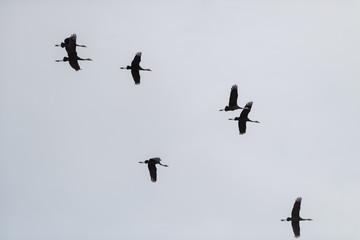 鹿児島県出水市に毎年1万羽以上渡って来る鶴の飛翔の風景、シルエット