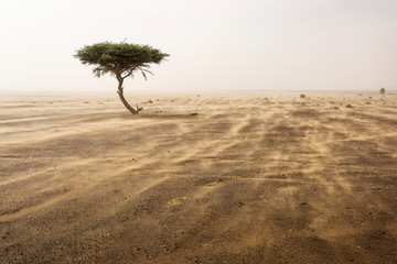 Single tree in a sands storm in desert Sahara, Morocco