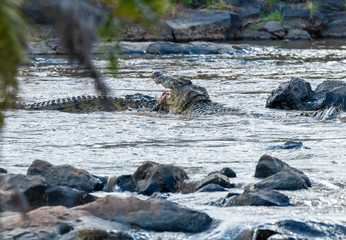 crocodile attacking in river