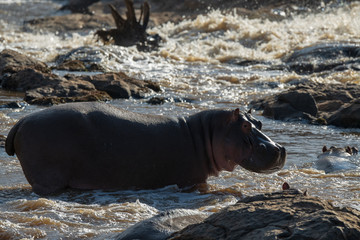 Hippos standing in the river