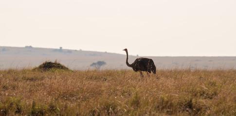 ostrich in savanna