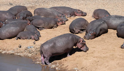 hippos resting on the bank