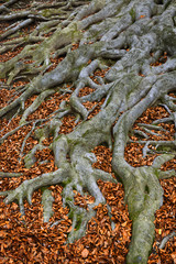 Old tree roots - European beech (Fagus sylvatica), park castle Hukvaldy, Czech Republic