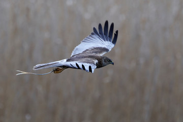 Western marsh harrier (Circus aeruginosus)