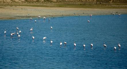 flamingos in salt lake