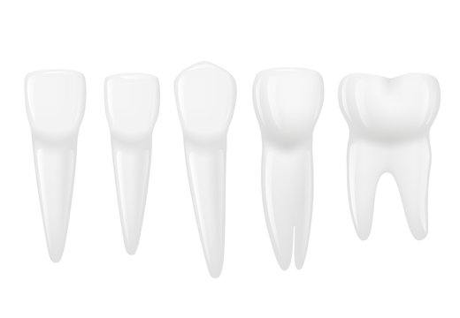 Types of tooth realistic. Various human tooth with roots, molars, premolars, canines. Vector illustration.