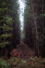 Misty narrow pine forest clearing