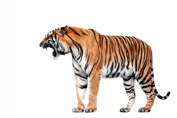 Tiger action on white background. Wall mural