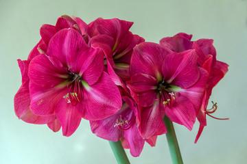 Pink amaryllis flower blooming (Violetta)