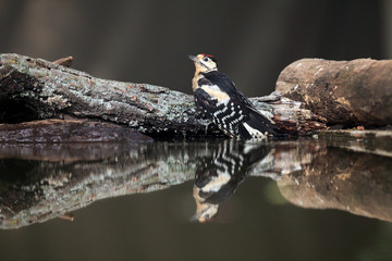 The great spotted woodpecker (Dendrocopos major) sitting in a small pond on a wooden pillar.