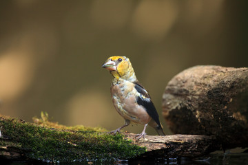 The hawfinch (Coccothraustes coccothraustes) sitting at a drinker.Juvenile color passerine near water.