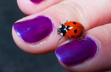 ladybird on woman hand with purple painted nails