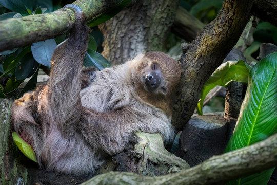 lazy sleeping sloth, Bradypus variegatus