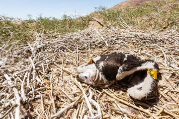 Ohrengeier (Aegypius tracheliotus), im Nest, Jungtier, Namib Wüste, Namib-Naukluft-Nationalpark