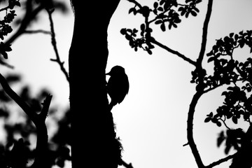 Woodpecker silhouette while pecking the tree