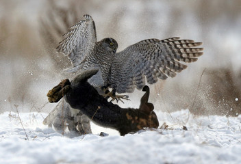 A tamed hawk attacks a rabbit during a traditional hunting contest in Almaty