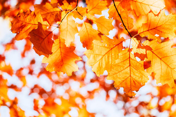 red autumn leaves of oak background