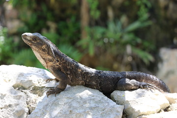 Portrait of Mexican iguana in the wild Tulum Maya Mexico summer travel