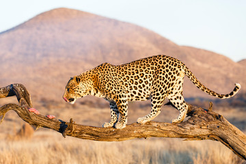 Leopard (Panthera pardus), im Baum, fressend