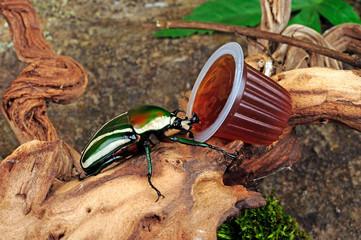 afrikanischer Rosenkäfer (Dicronorhina derbyana) - Derby's flower beetle