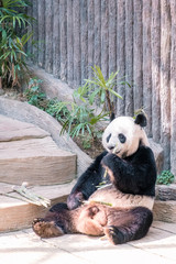 black white Panda in Zoo, Panda eating bamboo