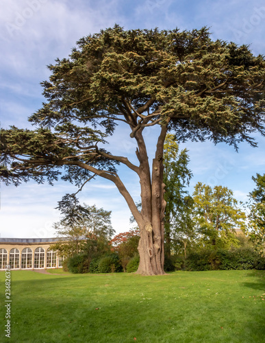 Blaise Castle Estate - notable cypress tree by the Dairy