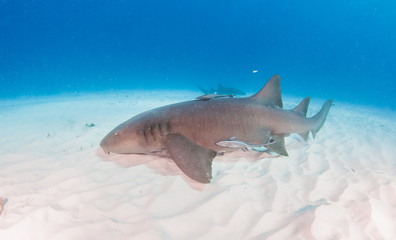 Nurse shark at the Bahamas