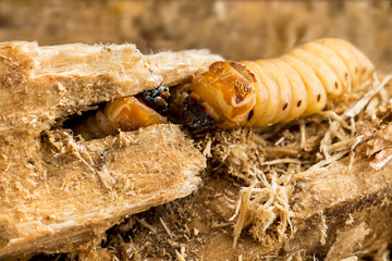 Larva of Coconut rhinoceros beetle or Oryctes rhinoceros is dangerous insect pest coconut and palm. Worm beetle for Deep-fried insects as food items, it is good source of protein. Entomophagy concept.